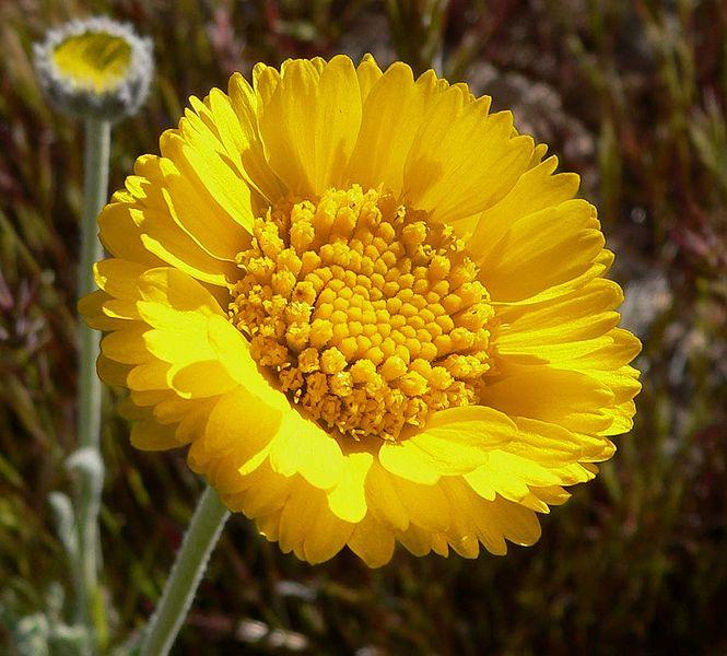 File:Baileya multiradiata flower 1.jpg