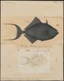 Balistes erythrodon - 1700-1880 - Print - Iconographia Zoologica - Special Collections University of Amsterdam - UBA01 IZ15400115.tif