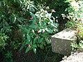 Balsamine de l'Himalaya (Impatiens glandulifera) (1).jpg