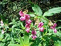 Balsamine de l'Himalaya (Impatiens glandulifera) (4).jpg
