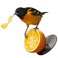 Baltimore Oriole eating orange - white.jpg