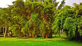 Bamboos bambusa vulgaris sao paulo botanical garden brazil.jpg