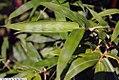 Bambusa ventricosa 1zz.jpg
