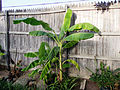 Banana Tree Texas 7-10.JPG