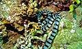 Banded Sea Krait (Laticauda colubrina) (6059129846).jpg