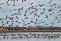 Banded Stilts and Red-necked Avocets (24388281362).jpg