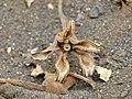 Baobab (Adansonia digitata) old flower calyx (11887423063).jpg