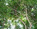 Baphia racemosa, blaarkruin, Umhlanga-strandmeer NR.jpg