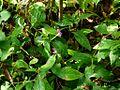 Barleria montana (2972152042).jpg