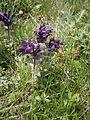 Bartsia alpina02.jpg