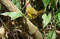 Basileuterus rufifrons (Arañero cabecirrufo) (14596145621).jpg