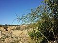 Bassia scoparia subsp. densiflora sl48.jpg