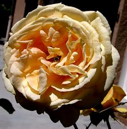 Bataclan-jaune-ambre312