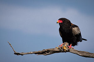 Kingdom of Mapungubwe - The name may derive from the Shona word for Bateleur eagle