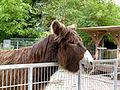 Baudet du Poitou donkey Esel 03.jpg