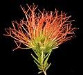 Beaufortia macrostemon - Flickr - Kevin Thiele.jpg