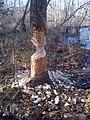Beaver (8412139978).jpg