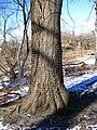 Beavers Ain't Chopping That Tree Down (4340897705).jpg