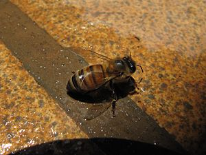 image of Bee and water