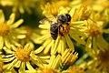 Bee on jacobaea erucifolia.jpg