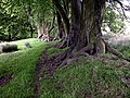 Beech Trees - geograph.org.uk - 456293.jpg