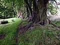 Beech Trees - geograph.org.uk - 456293.jpg
