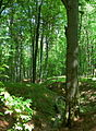 Beech trees in Male Karpaty 02.jpg