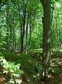 Beech trees in Male Karpaty 02.jpg