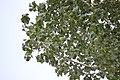 Bela Breza - Betula pendula (2)as.jpg