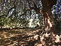Beneath shade tree - Terebinth.jpg