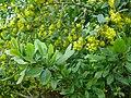 Berberis-vulgaris-1020840.JPG