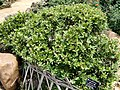 Berberis pruinosa - Kunming Botanical Garden - DSC03049.JPG
