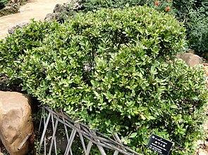 Bereifte Berberitze im Botanischen Garten von Kunming