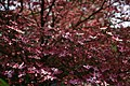 Big-dogwood-tree-flowering - West Virginia - ForestWander.jpg
