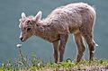 Bighorn lamb Alberta.jpg