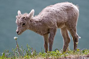 Bighorn sheep - A juvenile (lamb)
