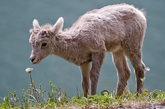 Ecology of the Rocky Mountains - Bighorn sheep (such as this lamb) have declined dramatically since European-American settlement of the Rocky Mountains.