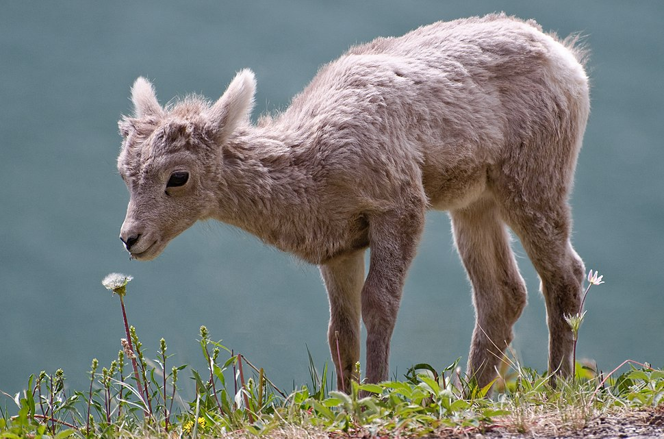 Bighorn lamb Alberta