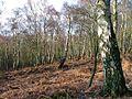 Birch Woodland, Landmoth Wood - geograph.org.uk - 124144.jpg