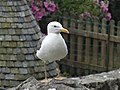 Bird in Mont Saint-Michel 2014 - 01.JPG