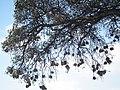 Birdnests in Tanzania 4290 Nevit.jpg