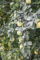 Birnenquitten (22078038436).jpg