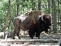 Bison in Lone Elk Park.JPG