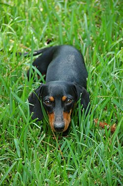 Black-and-tan smooth Dachshund.jpg