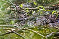 Black-and-white warbler (26041857900).jpg
