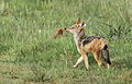 Black-backed jackal, Canis mesomelas, a young one playing with a root as a puppy plays with a ball at Rietvlei Nature Reserve, Gauteng, South Africa (16011748246).jpg