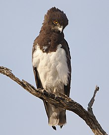 Black-chested snake eagle (Circaetus pectoralis) at Pilanesberg National Park, South Africa. (29993452207).jpg