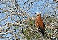 Black-collared Hawk (Busarellus nigricollis) - 48110865836.jpg