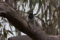Black-faced Cuckoo-shrike (Coracina novaehollandiae) (8079680885).jpg