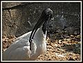 Black-headed Ibis in Chennai, India.jpg